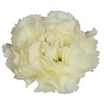 Cream Bulk Carnation flowers