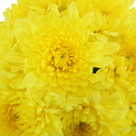 Yellow Bulk Inga Golden Cremon Flower