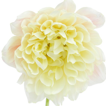 Dahlia Flower Ivory White