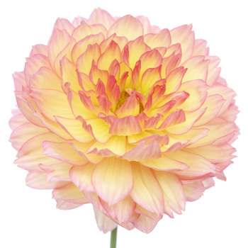 Dahlia Flower Pink and Yellow Sunset