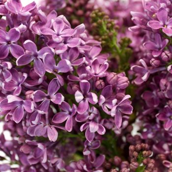 Designer Purple Lilac Flower