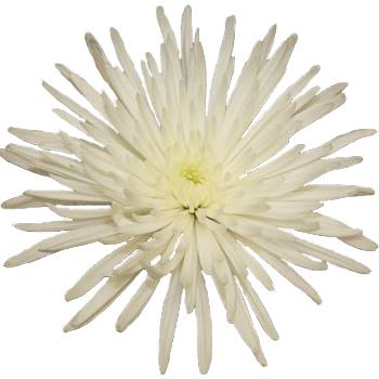 Super White Spider Mum Flower DeliStar