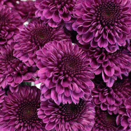 Magenta Purple Button Pom