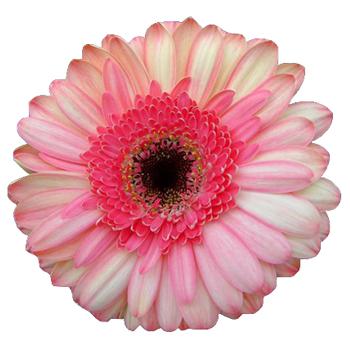Dusty Pink Super Gerber Flower
