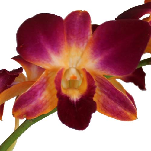 Dragonfruit Dendrobium Orchids