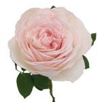 David Austin Peach Garden Rose Juliet