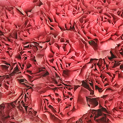 Antique Coral Carnation Flowers