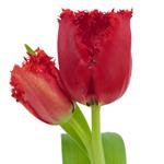 Bulk White French Tulip Flowers
