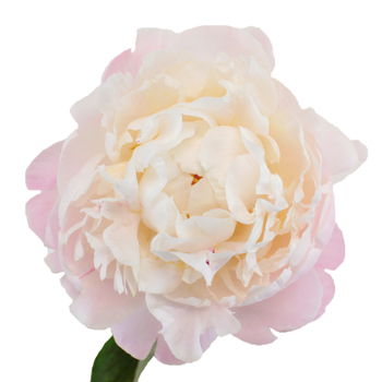 Blush Peony Flower July Delivery