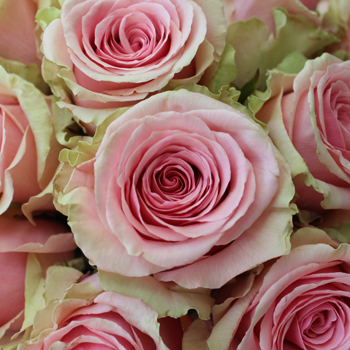 Geraldine Light Pink Rose