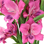 Bulk Hot Pink Gladiolas Flowers