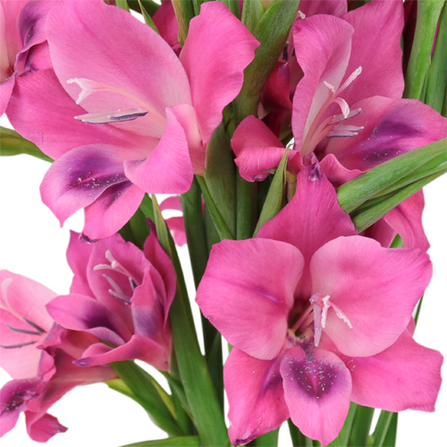 Pink Splash Mini Gladiolus Flowers