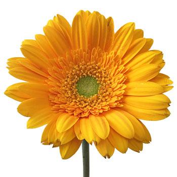 Unique Orange Gerbera Daisy Flower