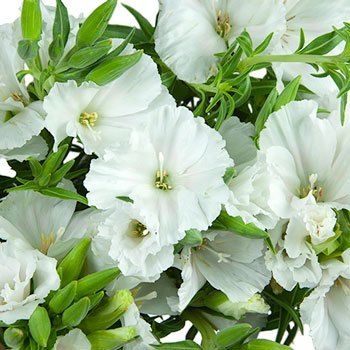 White Godetia Flowers