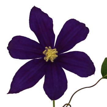 Grape Purple Clematis Flower
