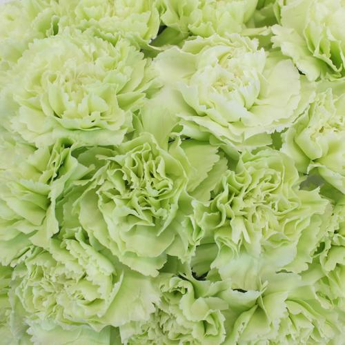 Green Carnation Flowers