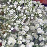 Baby_Breath_Flower_Million_Star_150.jpg