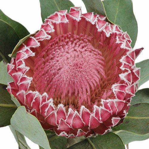 Impressive Protea