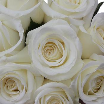 Innocence White Rose