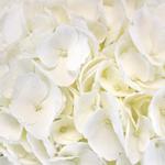Hydrangea Ivory White Flower