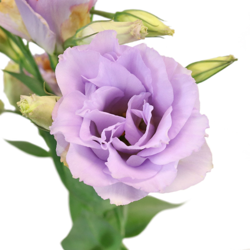 Lavender Designer Lisianthus Flower for October to May Delivery