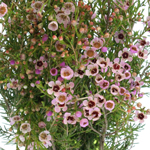 Wax Flower Lavender