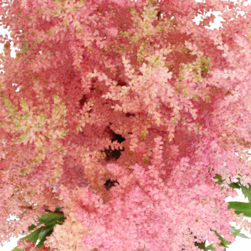 Pink Astilbe Flower May to October