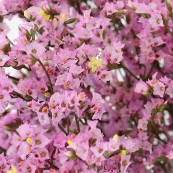 Pink Lavender Limonium Flowers