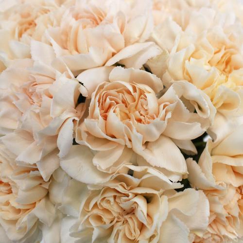 Pinky Peach Fresh Cut Carnations