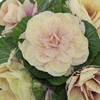 Ornamental Cream Kale Flower