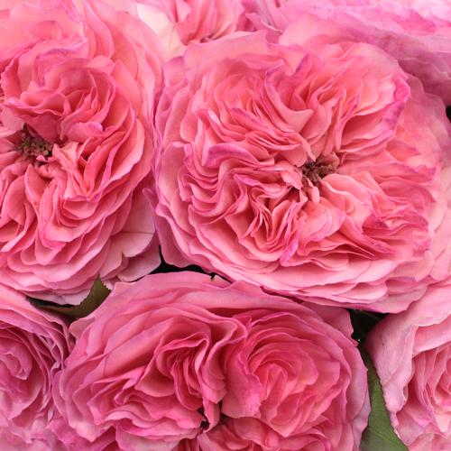 Garden Rose Pink Flower Maria Theresia