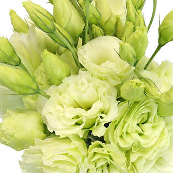 Green Designer Lisianthus Flower for October to May Delivery