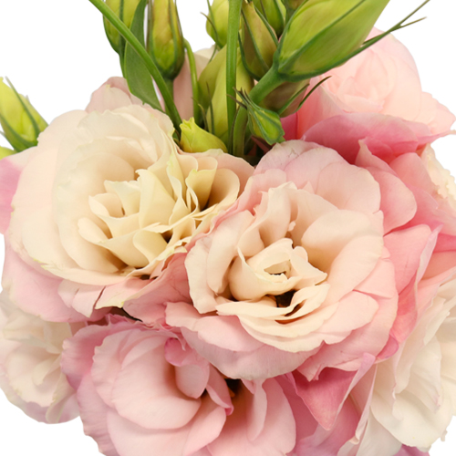 Light Pink Lisianthus Flower for October to May Delivery