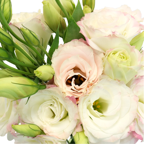 Kiss of Blush Lisianthus Flower for October to May Delivery
