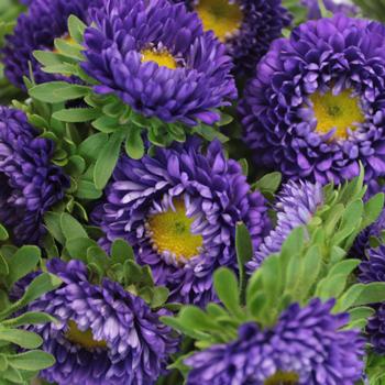 Purple Matsumoto Flowers