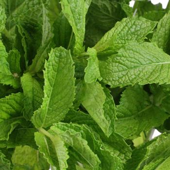 b80220f8dac0 Fresh Cut Mint Herb for Flower Arranging