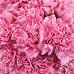 Bulk Carnation Flower Watermelon Pink