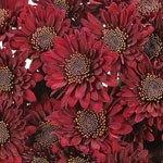 Bradford Bulk Novelty Daisy Flower