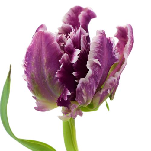 Mysterious Plum Parrot Tulip