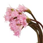 Bulk Amaryllis Pink Flower