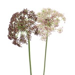 Filler Flower Queen Anne's Lace