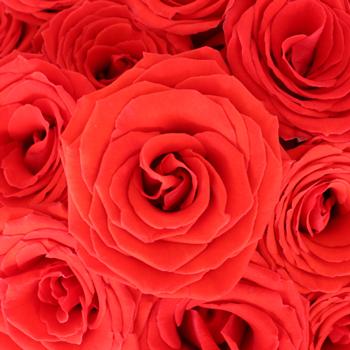Nina's Love Red Rose
