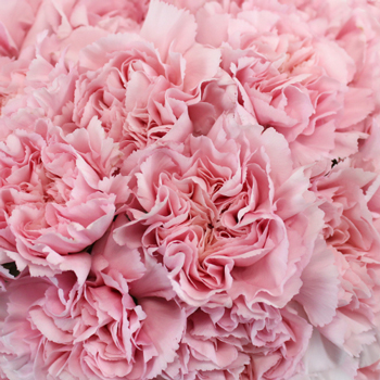 Soft Pink Fresh Carnation Flowers