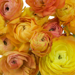 Orange Ranunculus Bulk Flower May 15th to August Delivery