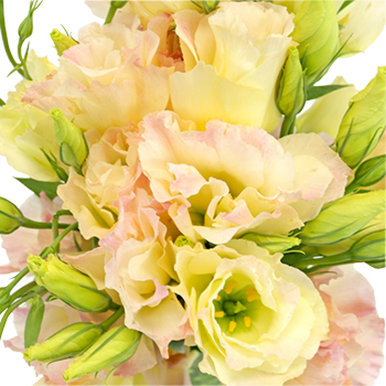 Hues of Apricot Lisianthus Flower for June to September Delivery