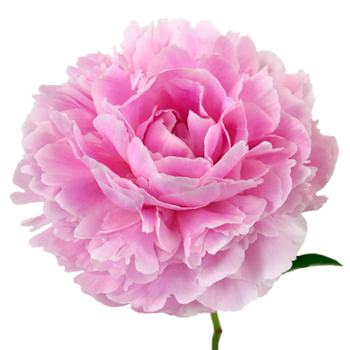Pink Peonies Flower September Delivery