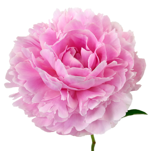 Peonies Pink Sarah Bernhardt Flower