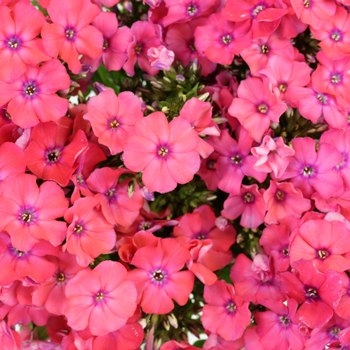 Phlox Hot Pink Flower
