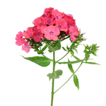 All Flowers~PhloxWedding Flowers~Colors~Mixed ColorWedding Flowers~Type~Phlox