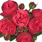 David Austin Ivory Garden Rose Vitality